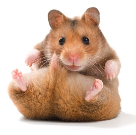 cute-teddy-bear-hamster