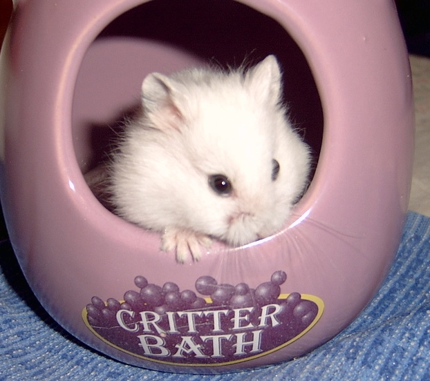 how to bathe a hamster